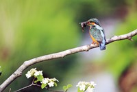 "Kingfisher Holding Fish in Beak Perched On a Branch by Panoramic Images - 24"" x 16"""