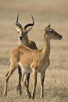 "Pair of Ugandan kobs (Kobus kob thomasi) mating behavior sequence, Queen Elizabeth National Park, Uganda by Panoramic Images - 16"" x 24"""