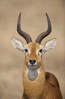 "Close-up of a Ugandan kob (Kobus kob thomasi), Queen Elizabeth National Park, Uganda by Panoramic Images - 16"" x 24"""