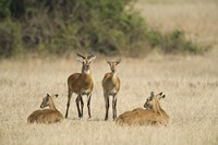 "Ugandan kobs (Kobus kob thomasi) mating behavior sequence, Queen Elizabeth National Park, Uganda by Panoramic Images - 16"" x 11"""