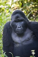 "Mountain Gorilla, Bwindi Impenetrable National Park, Uganda by Panoramic Images - 16"" x 24"""
