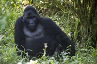 "Mountain Gorilla Sitting in a forest, Bwindi Impenetrable National Park, Uganda by Panoramic Images - 16"" x 11"""
