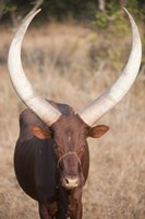 "Ankole-Watusi cattle standing in a field, Queen Elizabeth National Park, Uganda by Panoramic Images - 16"" x 24"""