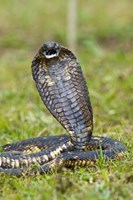 Close-up of an Egyptian cobra (Heloderma horridum) rearing up, Lake Victoria, Uganda Fine Art Print