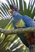 "Close-up of a Great Blue Turaco (Corythaeola cristata) Calling, Kibale National Park, Uganda by Panoramic Images - 16"" x 24"""