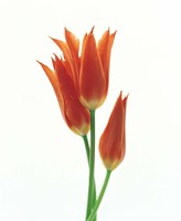 "Orange Flowers against White Background by Panoramic Images - 13"" x 16"""