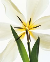 "Flower head, Lily by Panoramic Images - 13"" x 16"""