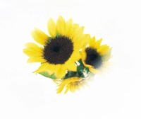"Close Up Of Sunflower Head by Panoramic Images - 16"" x 14"""