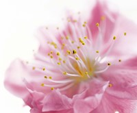 "Pink Flower by Panoramic Images - 16"" x 13"""