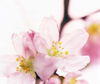 "Close up of cherry blossom by Panoramic Images - 16"" x 14"""