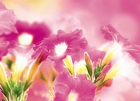 "Pink flowers by Panoramic Images - 36"" x 26"""