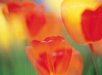 "Tulip Flowers by Panoramic Images - 36"" x 26"""