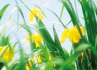 "Yellow flowers with grass an sky by Panoramic Images - 36"" x 26"""