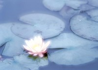 """Pink Flower in Pond, Lotus by Panoramic Images - 36"""" x 26"""""""