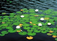 Lily pads with water lily Fine Art Print