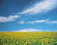 """Sunflowers in field by Panoramic Images - 24"""" x 19"""""""