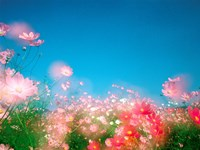"""Shiny pink flowers in bloom with blue sky by Panoramic Images - 16"""" x 12"""""""