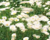 """Daisy flowers with blur motion by Panoramic Images - 16"""" x 13"""""""