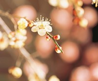 """Cherry blossom in selective focus by Panoramic Images - 16"""" x 13"""""""