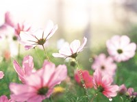 """Pink flowers in meadow by Panoramic Images - 16"""" x 12"""""""