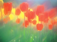"""Red Tulips by Panoramic Images - 16"""" x 12"""""""