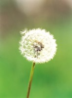 """Dandelion seeds, close-up view by Panoramic Images - 18"""" x 24"""""""