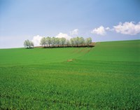 "Trees lined in crop field with sky and clouds in background by Panoramic Images - 24"" x 19"", FulcrumGallery.com brand"