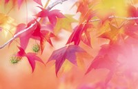 """Red Leaves with Backlit, Autumn by Panoramic Images - 16"""" x 10"""""""