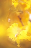 """Yellow Leaves, Autumn, Backlit by Panoramic Images - 11"""" x 16"""""""