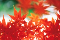 Red Maple Leaves Fine Art Print