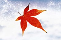 """Red Maple Leaf against White Background by Panoramic Images - 36"""" x 24"""""""