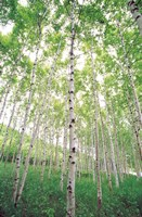 """Aspen Trees, View From Below (vertical) by Panoramic Images - 24"""" x 36"""""""