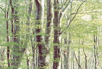 """Forest in Spring by Panoramic Images - 36"""" x 24"""""""