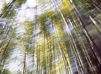 """Sunlight in Bamboo Forest by Panoramic Images - 36"""" x 26"""""""