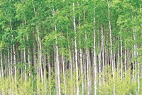 """Aspen Trees, View From Below (horizontal) by Panoramic Images - 36"""" x 24"""""""