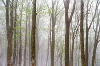 """Foggy Trees in Forest by Panoramic Images - 36"""" x 24"""""""