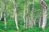"""Lush Forest by Panoramic Images - 36"""" x 24"""""""