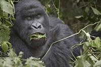 Close-up of a Mountain gorilla (Gorilla beringei beringei) eating leaf, Rwanda Fine Art Print