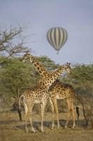 "Two Masai giraffes (Giraffa camelopardalis tippelskirchi) and a hot air balloon, Tanzania by Panoramic Images - 16"" x 24"" - $34.99"