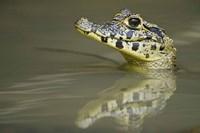 Close-up of a caiman in lake, Pantanal Wetlands, Brazil Fine Art Print