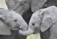 African elephant calves (Loxodonta africana) holding trunks, Tanzania Fine Art Print