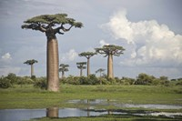 """Baobab trees (Adansonia digitata) at the Avenue of the Baobabs, Morondava, Madagascar by Panoramic Images - 36"""" x 24"""""""