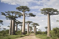 """Baobab Trees (Adansonia digitata) along a Dirt Road, Avenue of the Baobabs, Morondava, Madagascar by Panoramic Images - 36"""" x 24"""""""