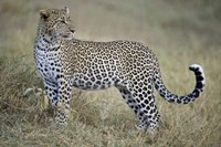"""Close-up of a leopard (Panthera pardus) in a forest, Tanzania by Panoramic Images - 16"""" x 11"""", FulcrumGallery.com brand"""