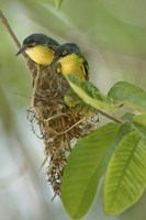 """Close-up of two Common Tody-Flycatchers (Todirostrum cinereum), Brazil by Panoramic Images - 16"""" x 24"""""""