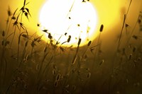 """Silhouette of grass at sunrise, Tanzania by Panoramic Images - 16"""" x 11"""", FulcrumGallery.com brand"""