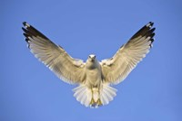 Ring Billed Gull (Larus delawarensis) in flight, California, USA Fine Art Print