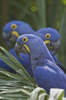 """Hyacinth macaws (Anodorhynchus hyacinthinus) perching on a branch, Brazil by Panoramic Images - 16"""" x 24"""", FulcrumGallery.com brand"""