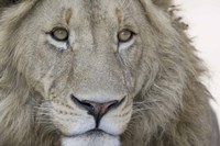 """Close-up of a male lion (Panthera leo), Tanzania by Panoramic Images - 16"""" x 11"""", FulcrumGallery.com brand"""