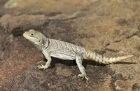 "Close-up of a lizard (Oplurus cyclurus), Madagascar by Panoramic Images - 16"" x 10"", FulcrumGallery.com brand"